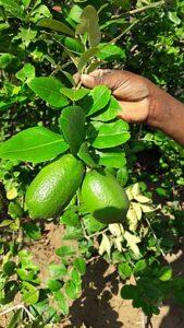 Assam lemon Kaji Nemu